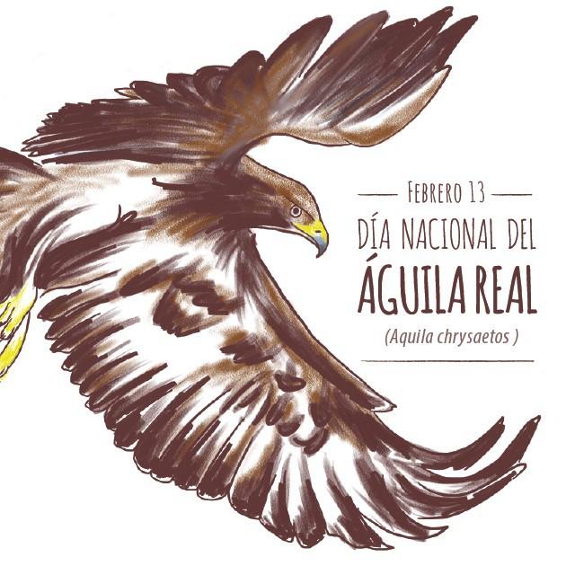 ¡13 de febrero día nacional del Águila real!  Dentro del noroeste trabajamos por su protección y cuidado.  5 familias de esta especie viven en el noroeste de México siendo la mayor concentración de individuos en el país.
