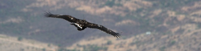 tagging-eagle-pronatura-crop