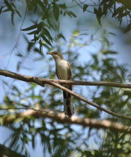 Opportunity for recovering population of  Yellow-billed Cuckoo image