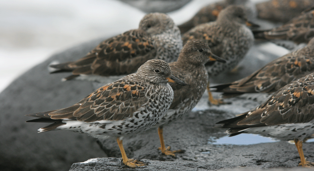 Conservation of Shorebirds image