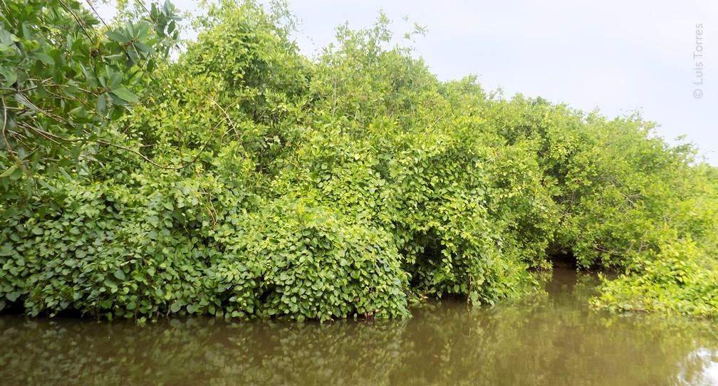 Protegen zona de manglares de enredadera invasora image