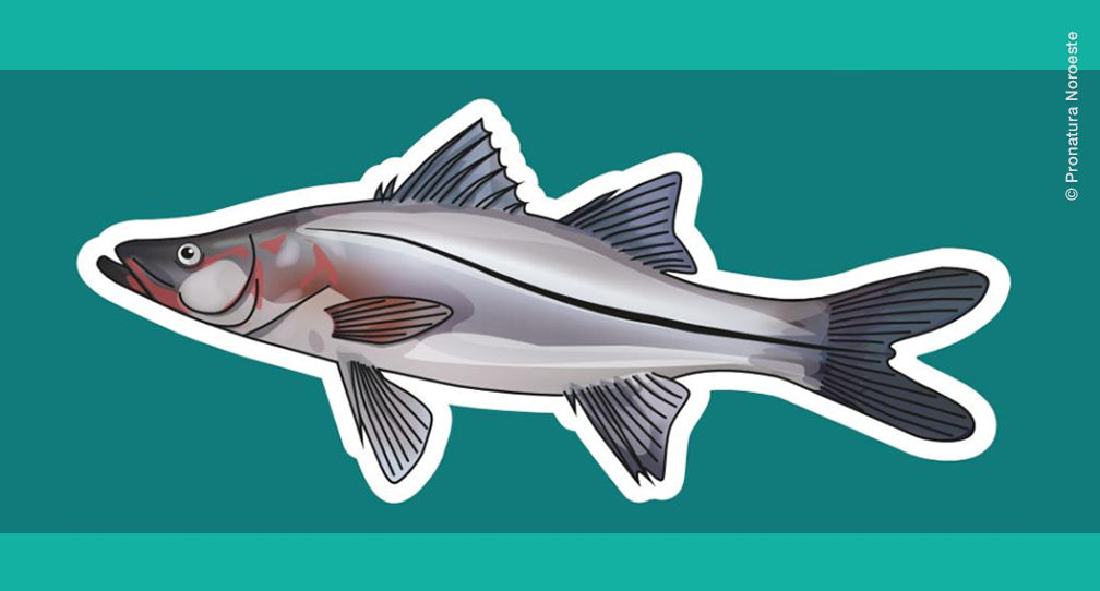 Pesca sostenible de Robalo garabato en Nayarit image